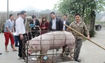 Liên kết trong chăn nuôi lợn thịt
