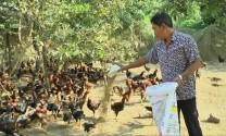 Đồng Tháp: Giá gà thả vườn giảm mạnh