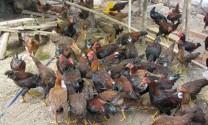 Mô hình chăn nuôi gà thịt an toàn sinh học ở Hàm Tân (Bình Thuận): An toàn, lợi nhuận cao