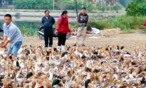Vịt biển - Mô hình chăn nuôi mới ở Hạ Long