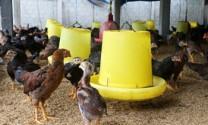 Đồng Nai: Người nuôi gà ta lo mất Tết