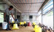 Nghệ An: Khống chế dịch bệnh trên gia súc, gia cầm