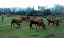 Bình Định: Bình Tân phát triển chăn nuôi bò