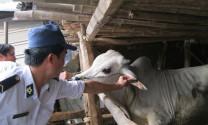 Phú Yên: Tăng cường phòng dịch cho vật nuôi
