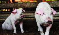 Trung Quốc nuôi lợn bằng trà xanh