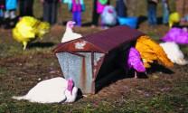 Trang trại gà tây rực rỡ sắc màu