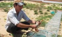 Bình Thuận: Phát triển mô hình nuôi dông thịt