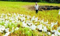 Bảo tồn, thương mại các giống vật nuôi bản địa: Hướng đi của tương lai