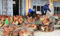 Yên Thế: Tiêu thụ gần 1,5 triệu con gà dịp Tết