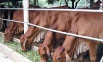 Thanh Hóa: Hỗ trợ bò sinh sản bước đầu đạt kết quả tốt