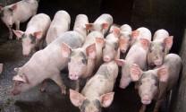 Phú Thọ: Phát triển chuỗi liên kết trong chăn nuôi