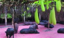 Lợn rừng Hoa Viên: Thương hiệu của chất lượng