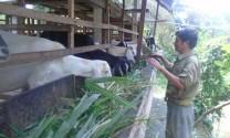 Tiền Giang: Con dê - vật nuôi đang lên của nông dân huyện Châu Thành