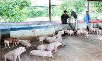 Người nuôi heo chờ tăng giá… để xuất chuồng