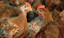 Cà Mau: Cảnh báo nguy cơ H5N1 tái phát