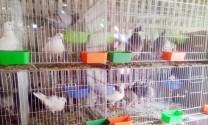 Thu nhập cao từ mô hình nuôi chim bồ câu Pháp