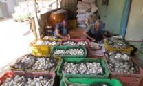 Đồng Tháp: Trứng vịt rớt giá