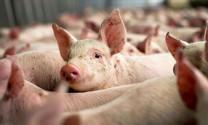 Hà Tĩnh: Chăn nuôi gặp khó