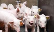 Phạt 3 tỷ đồng và 5 năm tù đối với hành vi dùng chất cấm chăn nuôi