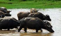 Thái Nguyên: Chủ động tái đàn chăn nuôi