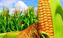 Sử dụng thực vật biến đổi gen làm thực phẩm, thức ăn chăn nuôi
