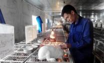 Làm giàu từ nghề nuôi thỏ