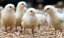 Ninh Bình - Để tái đàn vật nuôi phát triển tốt