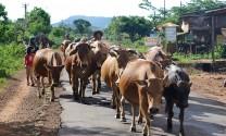 Gia Lai: Khan hiếm nguồn thức ăn gia súc