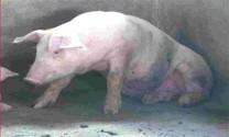 Kinh nghiệm phòng trị suyễn lợn