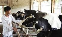 Giá sữa tươi tiếp tục giảm mạnh: Hệ quả tất yếu