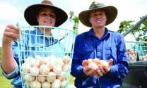 Nuôi gà siêu trứng không khó