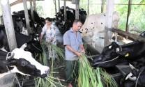 Hướng đi nào cho bò sữa nông hộ?