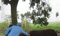 Một số lưu ý khi sử dụng vắc xin lở mồm long móng cho gia súc