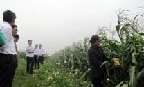 Quảng Bình: Hội thảo chia sẻ kinh nghiệm trong phát triển chuỗi giá trị ngô làm thức ăn cho bò