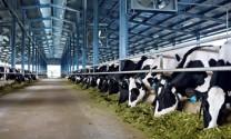 Vinamilk: Xây dựng trang trại bò sữa thứ 7