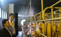 Đà Nẵng: Thanh niên trẻ làm giàu từ nuôi heo công nghệ mới