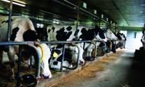 Ảnh hưởng của nhiệt độ đến năng suất sinh sản và sữa của bò