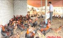 Mô hình nuôi gà lai chọi ở Nghệ An lãi ròng 300 triệu đồng/năm
