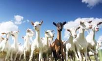 Bắc Kạn: Huyện Chợ Đồn - Tập trung phát triển đàn dê