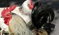 Jakarta, Indonesia: Di dời trại nuôi gà thả vườn và lò mổ