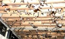 Thừa Thiên - Huế: Tăng cường quản lý các cơ sở nuôi chim yến