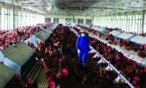 Siết chặt quản lý nhóm Beta-agonist trong chăn nuôi