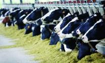 Chăn nuôi bò sữa: Thử thách bản lĩnh của ngành chăn nuôi Việt