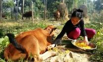 Quảng Bình:Thực hiện giải pháp phòng, chống bệnh lở mồm long móng (LMLM)