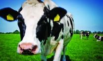 Nâng cao năng suất sữa bò
