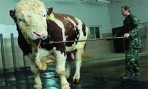 Những con bò khổng lồ