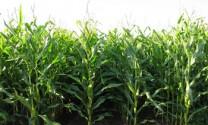 Trung Quốc: Hỗ trợ nông dân trồng ngô
