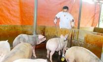 Bình Dương: Hàng loạt trại heo bị bắt quả tang sử dụng chất cấm