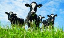 Xứ sở bò sữa New  Zealand
