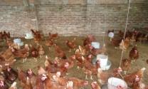Hiệu quả nuôi gà trên nền đệm lót sinh học